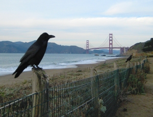 Crow Perched on a Fence
