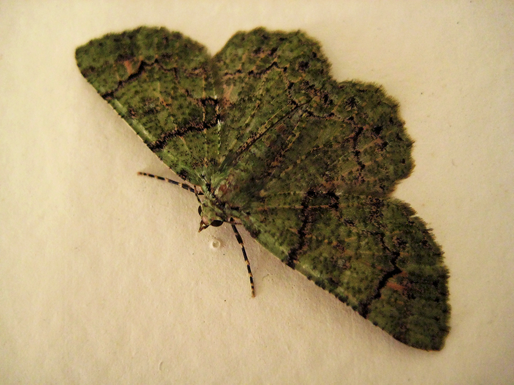 Little Jade Moth