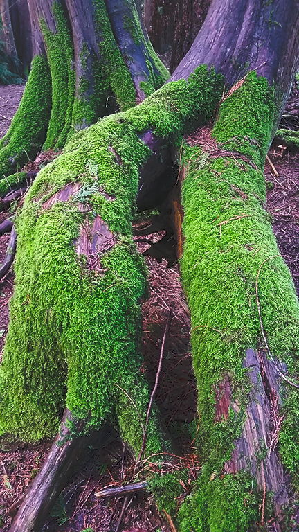 Mossy Roots, Langley, British Columbia, Canada