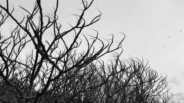 Crows and strange trees, Mulder's House, Langley, British Columbia, Canada