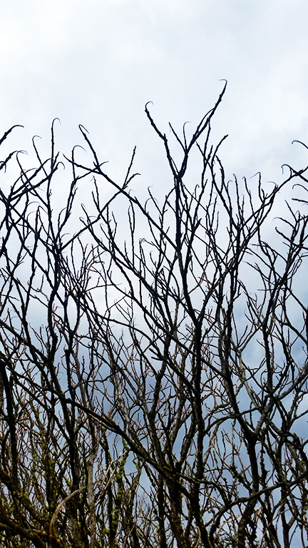 Bare branches, early in spring, Langley, British Columbia, Canada