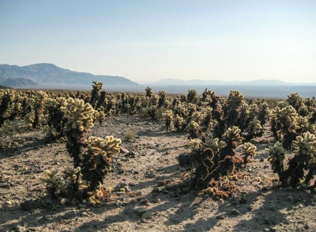 Cholla Cactus Garden; Joshua Tree National Park, California, United states of America