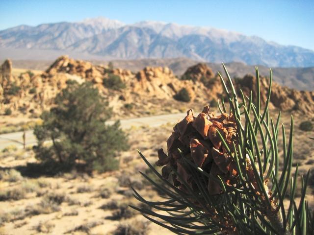 Desert Pine, State Road 120, East of Mono Lake, California, United States of America