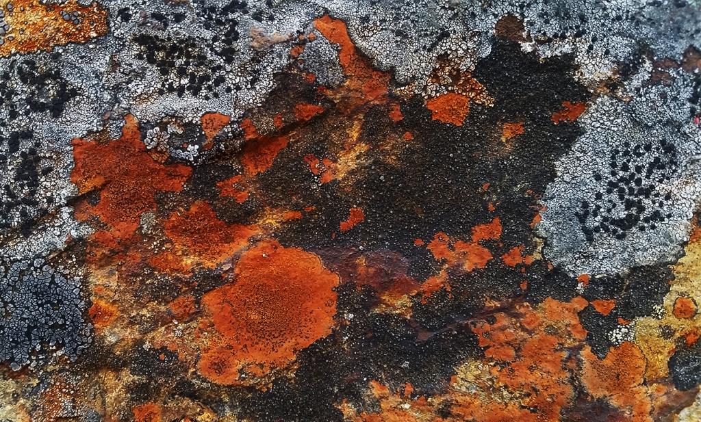 Lichen, Cascade Mountains, Nicolum Valley, Trans Canada Highway, British Columbia, Canada