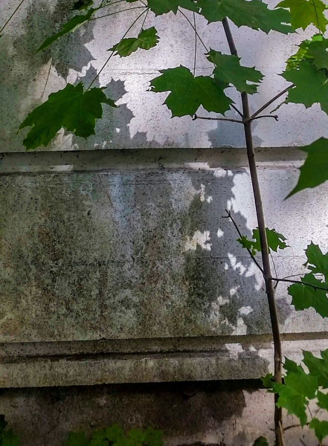 Maple Shadows on Concrete, Riverview Hospital, East Lawn Building, Coquitlam, British Columbia, Canada