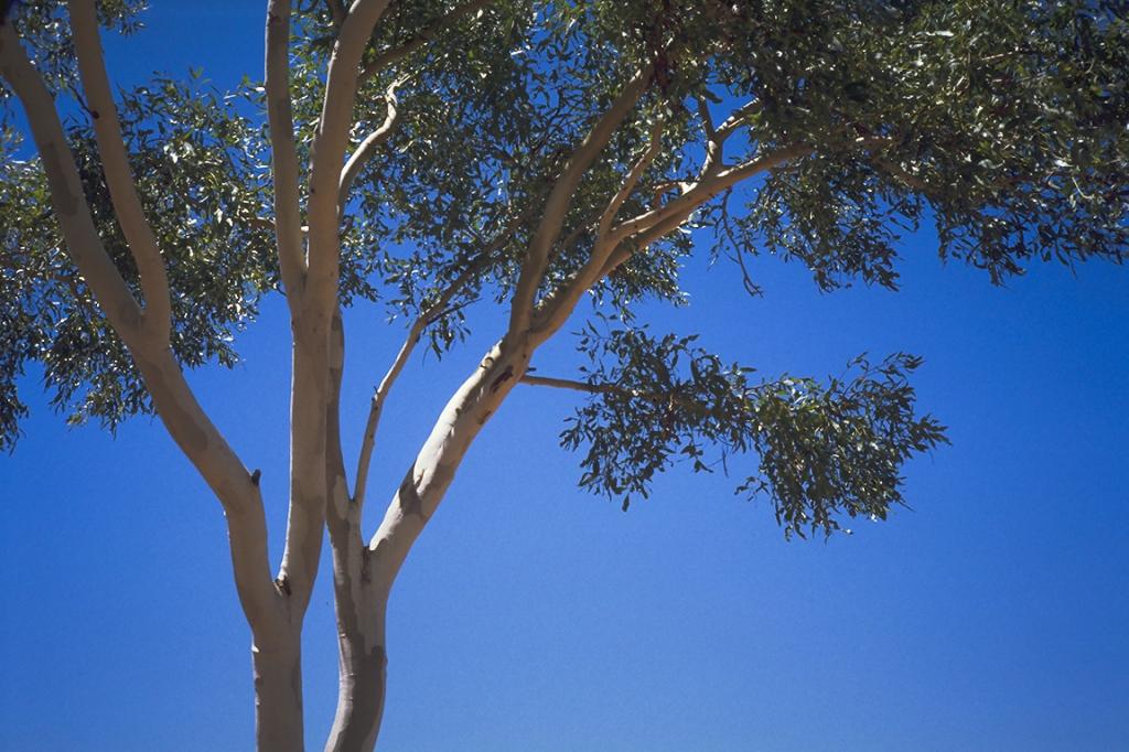Ghost Gum, Stuart Highway, Near Tennant Creek, Northern Territory, Australia