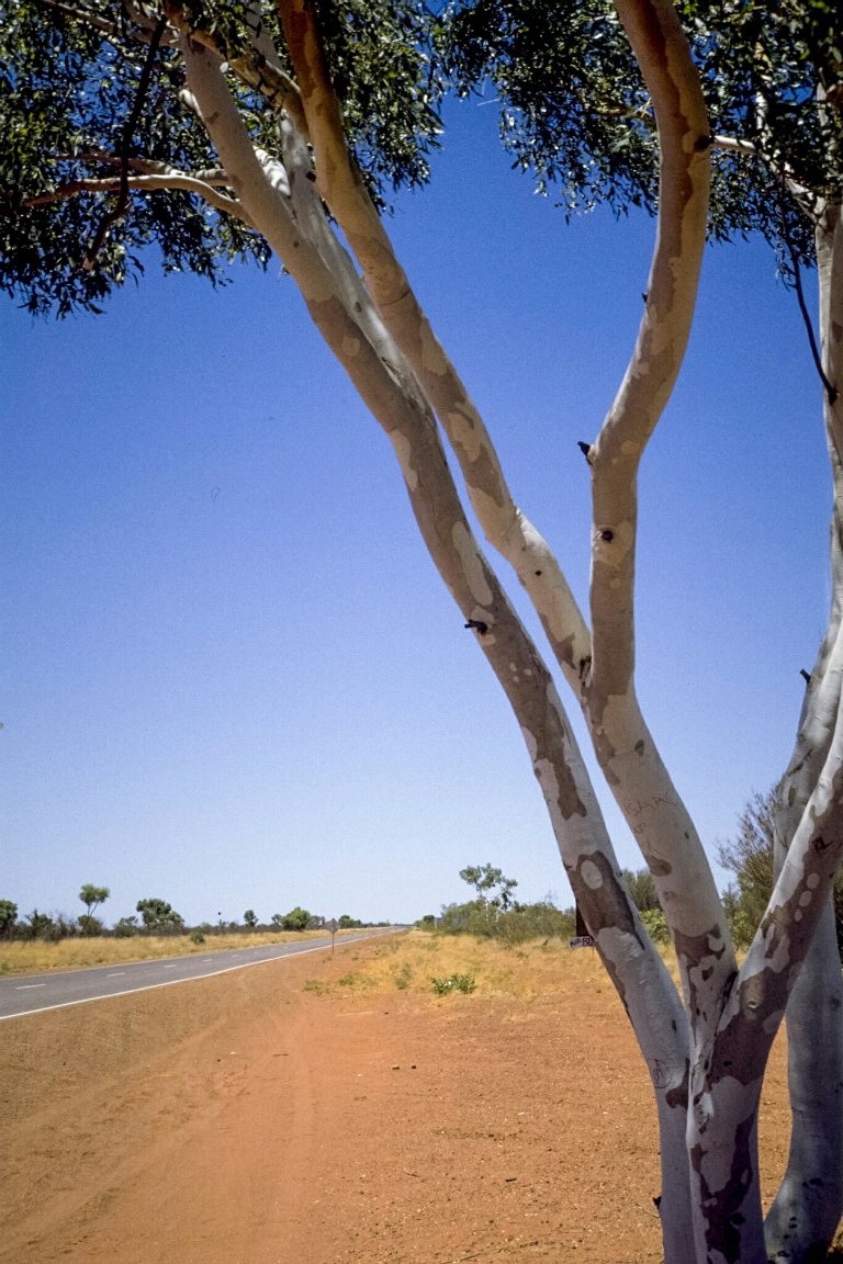 Roadside Ghost Gums, Simpson Desert, Stuart Highway, Near Tennant Creek, Northern Territory, Australia