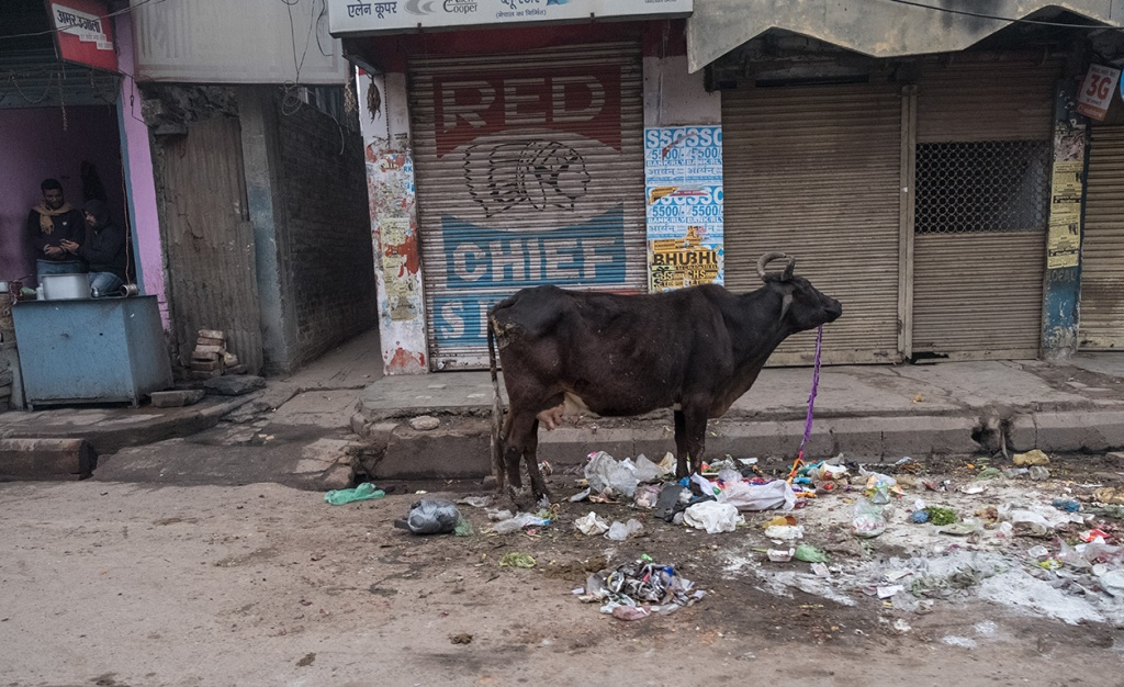 Urban Cow, Varanasi, Uttar Pradesh, India
