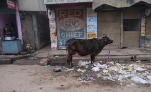 Urban Cow, Varanasi, Uttar Pradesh, India