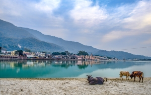Beach Cows, The Ganga Banks, (Ganges River), Rishikesh, Uttarakhand, India copy