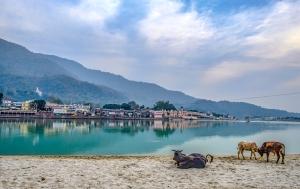 Beach Cows, The Ganga Banks, (Ganges River), Rishikesh, Uttarakhand, India copy