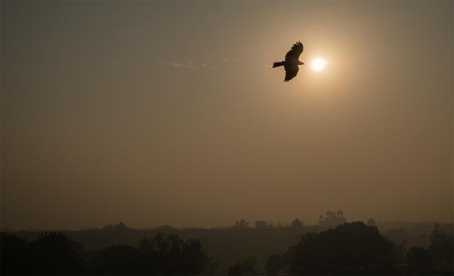 Black Kite Over Red Fort, Chandni Chowk in Old Delhi, New Delhi, India