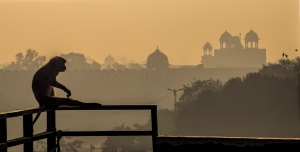 Monkey on a Rooftop, Red Fort beyond, Chandni Chowk, in Old Delhi, New Delhi, India