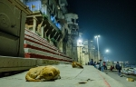 Sleeping Dogs, Kashi, Old Varanasi, Uttar Pradesh, India