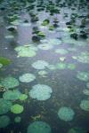 Lotus Petals, Sukhothai, Thailand