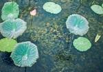 Lotus Rain, Sukhothai, Thailand