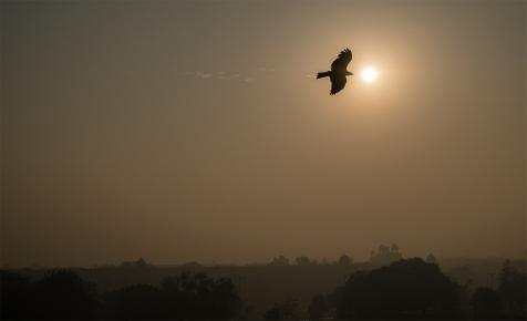 Black Kite over Red Fort, Chandni Chowk, Old Delhi, India