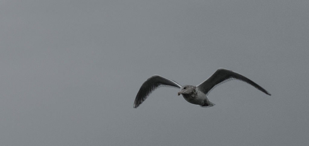 Grey on Grey, Seagull in Flight, Jericho Park, Vancouver, British Columbia, Canada