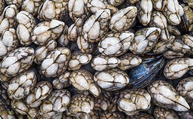 Barnacles and Mussels, Ucluelet, British Columbia, Canada