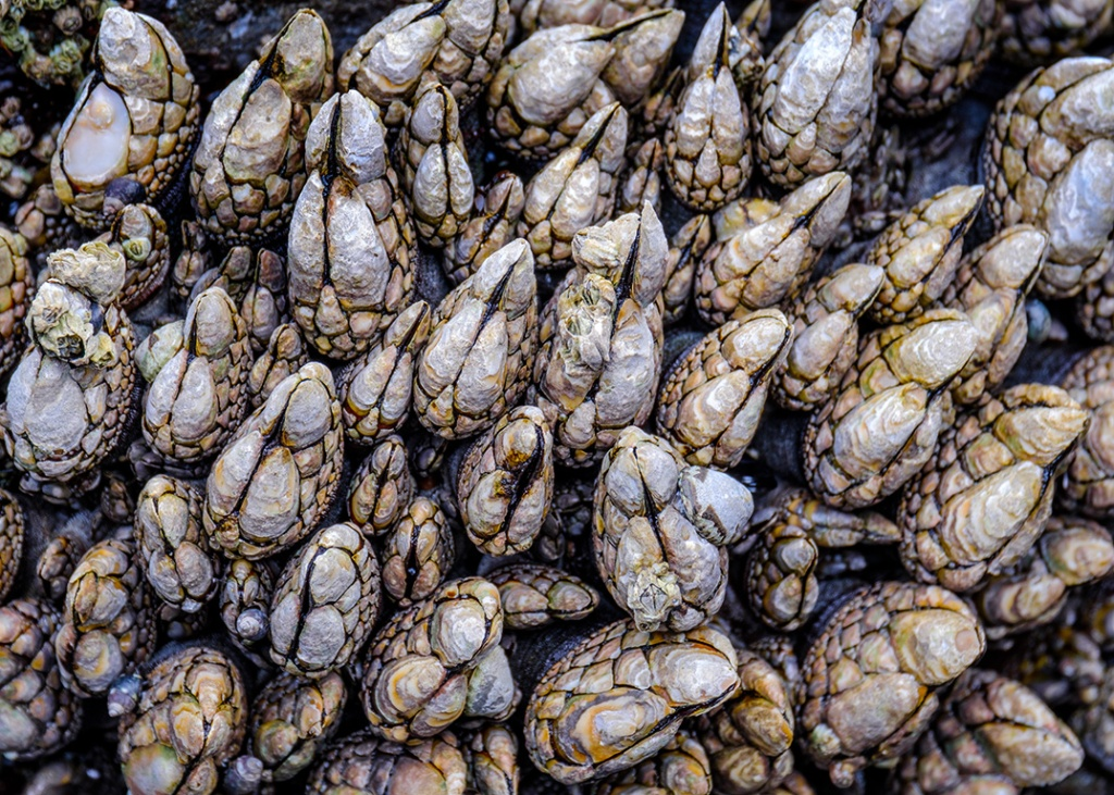Aliens, Barnacles, Ucluelet, Vancouver Island, British Columbia, Canada