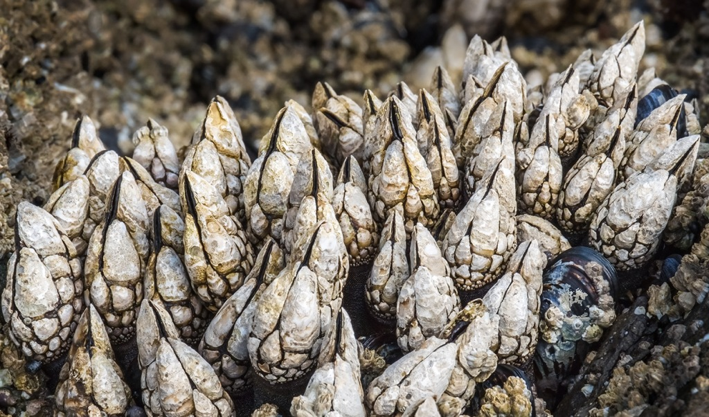 Alien Beauty, Barnacles and Mussels, Ucluelet, Vancouver Island, British Columbia, Canada