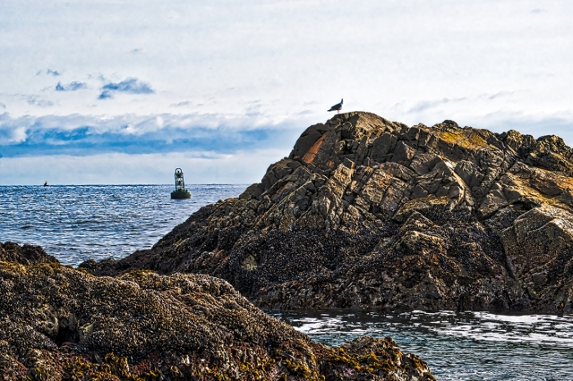 Seagull at Melfort Bell, Carolina Channel, Ucluelet, Vancouver Island, British Columbia, Canada