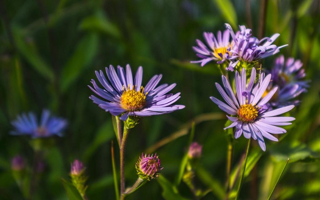 Undiminished Beauty, Alpine Daisy Aster, Buller Mountain Day Use Area, Spray Valley Provincial Park, Kananaskis, Alberta, Canada