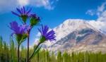 Alpine Daisy Aster Close, Buller Mountain, Spray Valley Provincial Park, Alberta, Canada