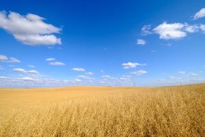 Wheat, Drumheller, Alberta, Canada