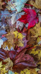Fallen Maple Leaves, Stanley Park, Vancouver, British Columbia, Canada