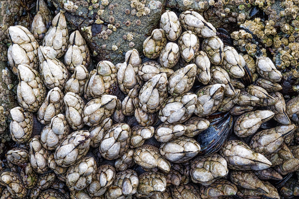 Barnacles and Mussel, Ucluelet, Vancouver Island, British Columbia, Canada