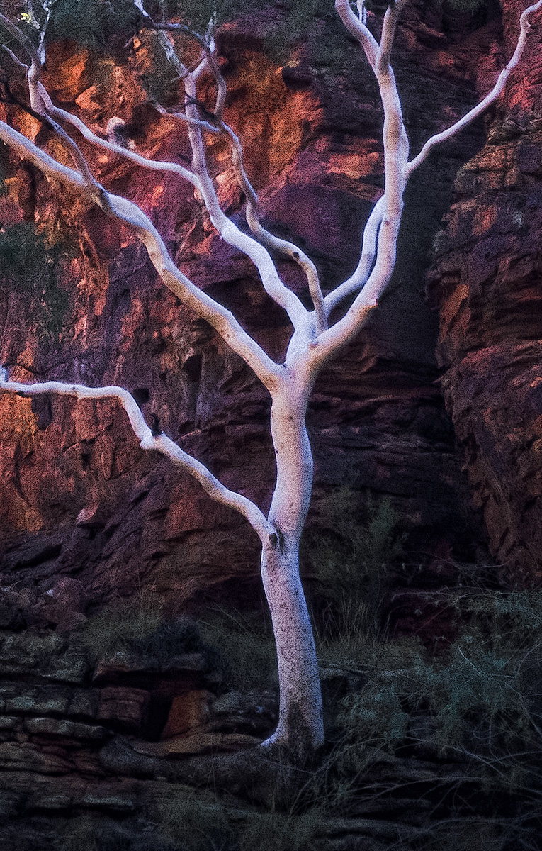 ghost in the hollows, white eucalyptus, kings canyon, northern territory, australia